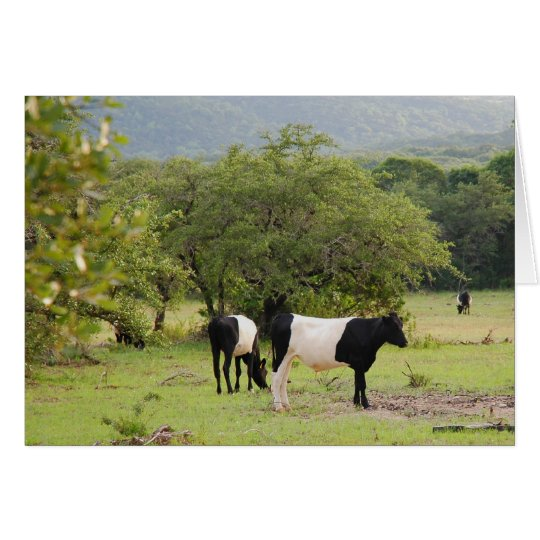 texas banded cow2 card
