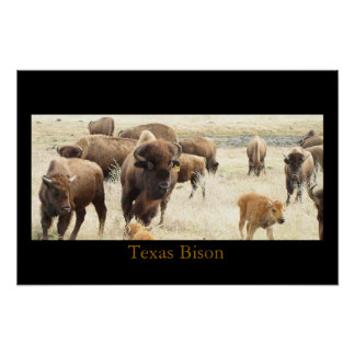 Texas Bison Poster