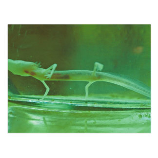 Texas Blind Salamander Postcard