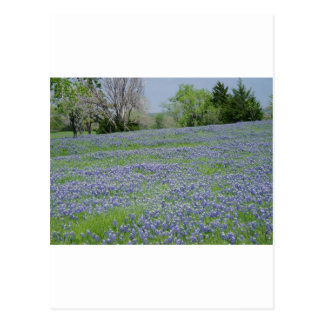 Texas Blue Bonnets Postcard