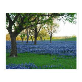 Texas Blue Bonnets Postcards