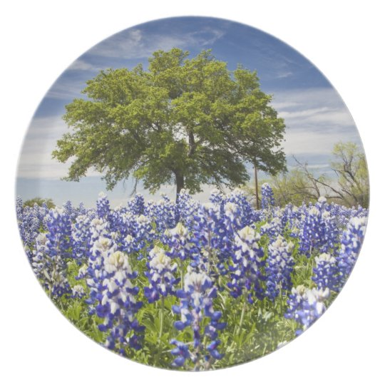 Texas bluebonnets(lupinus texensis) and oak plate