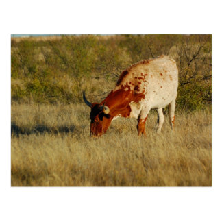 Texas Longhorn Cattle Postcard