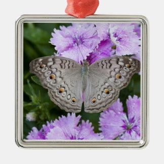 Thailand, Khon Kaen, grey Pansy (Junonia atlites Silver-Colored Square Ornament