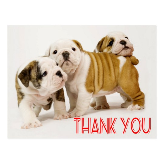 Thank You English Bulldog Puppy Dogs Postcard