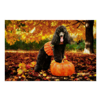 Thanksgiving de chute - Gidget - caniche