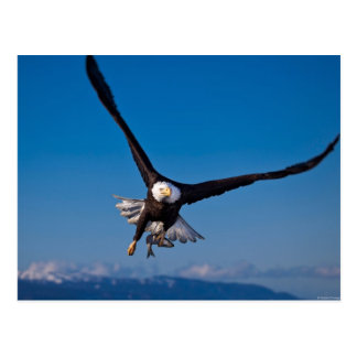 The American Bald Eagle Postcard