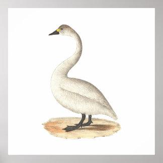 The American Swan(Cygnus americanus) Poster
