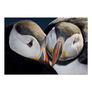 The Atlantic Puffin, a pelagic seabird, shown 3 Poster