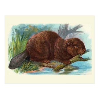 """The Beaver"" Vintage Illustration Postcard"