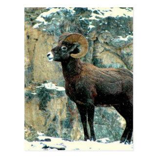 The Bighorn Ram Postcard