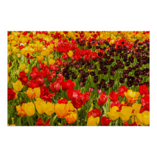 the blossoming of tulips on Poster Paper (Matte)