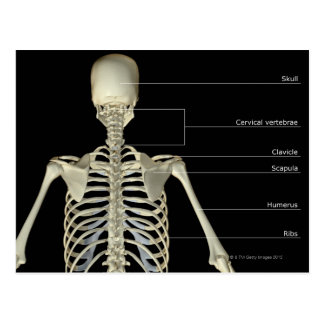 The bones of the upper body postcard