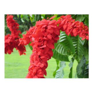 The Chaconia, The National Flower Postcard