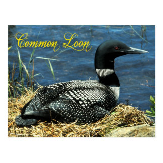 The Common Loon nesting in Alaska Postcard