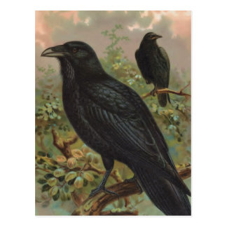 The Common Raven Vintage Bird Illustration Postcard