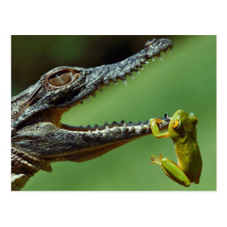 The Crocodile and the Frog Postcard
