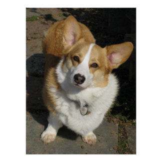 The Curious Corgi Poster