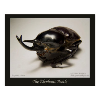 The Elephant Beetle Poster