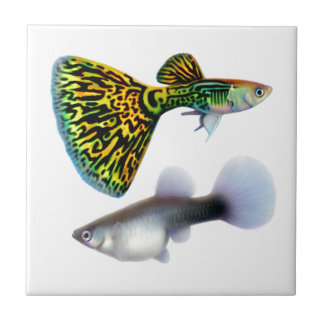 The Fancy Fantail Guppies Tile