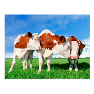 The flirting cows postcard