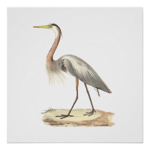 The Great Blue Heron  (Ardea herodias) Posters