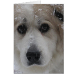 The Great Pyrenees, Gentle Giant 2 Card