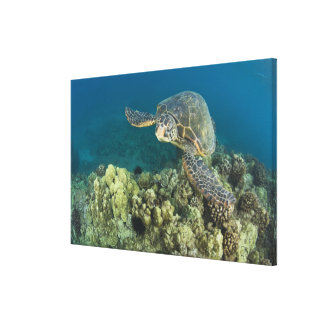 The Green Sea Turtle, (Chelonia mydas), is the 2 Canvas Prints