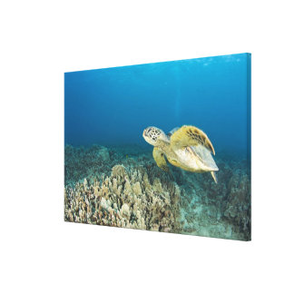 The Green Sea Turtle, (Chelonia mydas), is the 3 Stretched Canvas Print