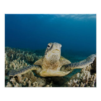 The Green Sea Turtle, (Chelonia mydas), is the Poster