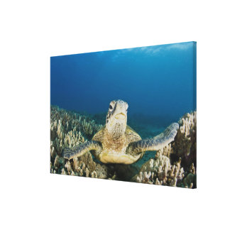 The Green Sea Turtle, (Chelonia mydas), is the Stretched Canvas Prints