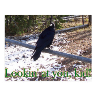 The Hungry Raven of Yellowstone Postcard