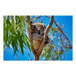 The Koala Bear Poster