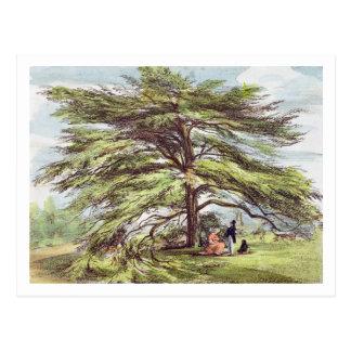 The Lebanon Cedar Tree in the Arboretum, Kew Garde Postcard