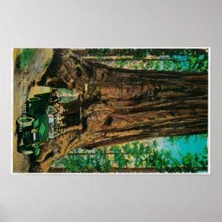 The Mariposa Big Tree Grove, Yosemite Print