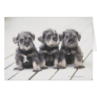 The Miniature Schnauzer is a breed of small dog Card