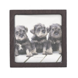 The Miniature Schnauzer is a breed of small dog Premium Jewelry Box