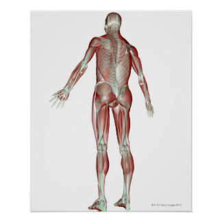 The Musculoskeletal System 5 Poster