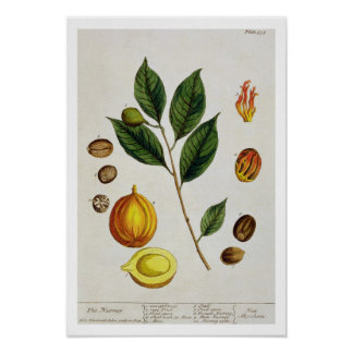 The Nutmeg, plate 353 from 'A Curious Herbal', pub Poster