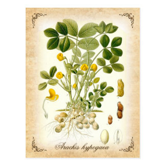 The peanut plant - vintage illustration postcard
