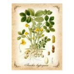 The peanut plant - vintage illustration postcards