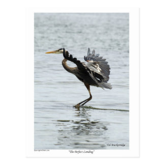 The Perfect Landing Blue Heron Gifts Postcard