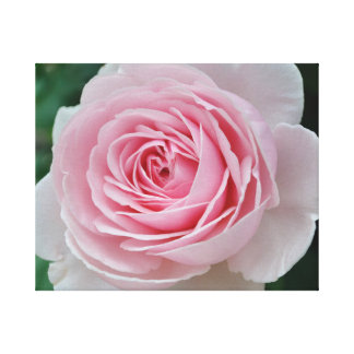 The Perfect Pink Rose Canvas Print
