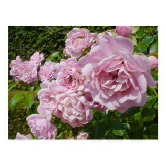 The Queen Of Sweden Roses Postcard