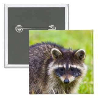 The raccoon, Procyon lotor, is a widespread, 2 2 Inch Square Button