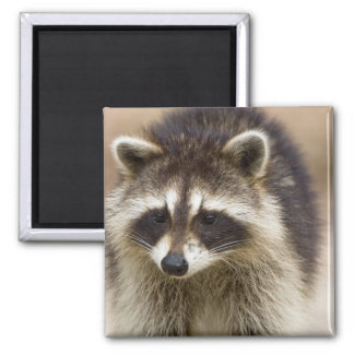 The raccoon, Procyon lotor, is a widespread, Magnet