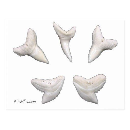 The Real Jaws-Sharks Teeth Postcard