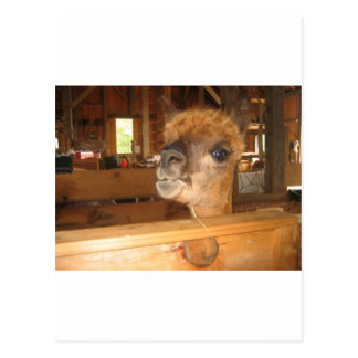 """the real money's in alpacas"" postcard"