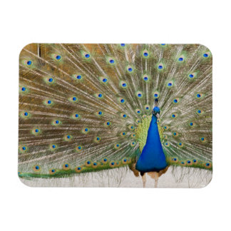 The resident male peacock fans his feathers in rectangular photo magnet