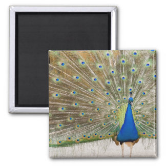 The resident male peacock fans his feathers in square magnet